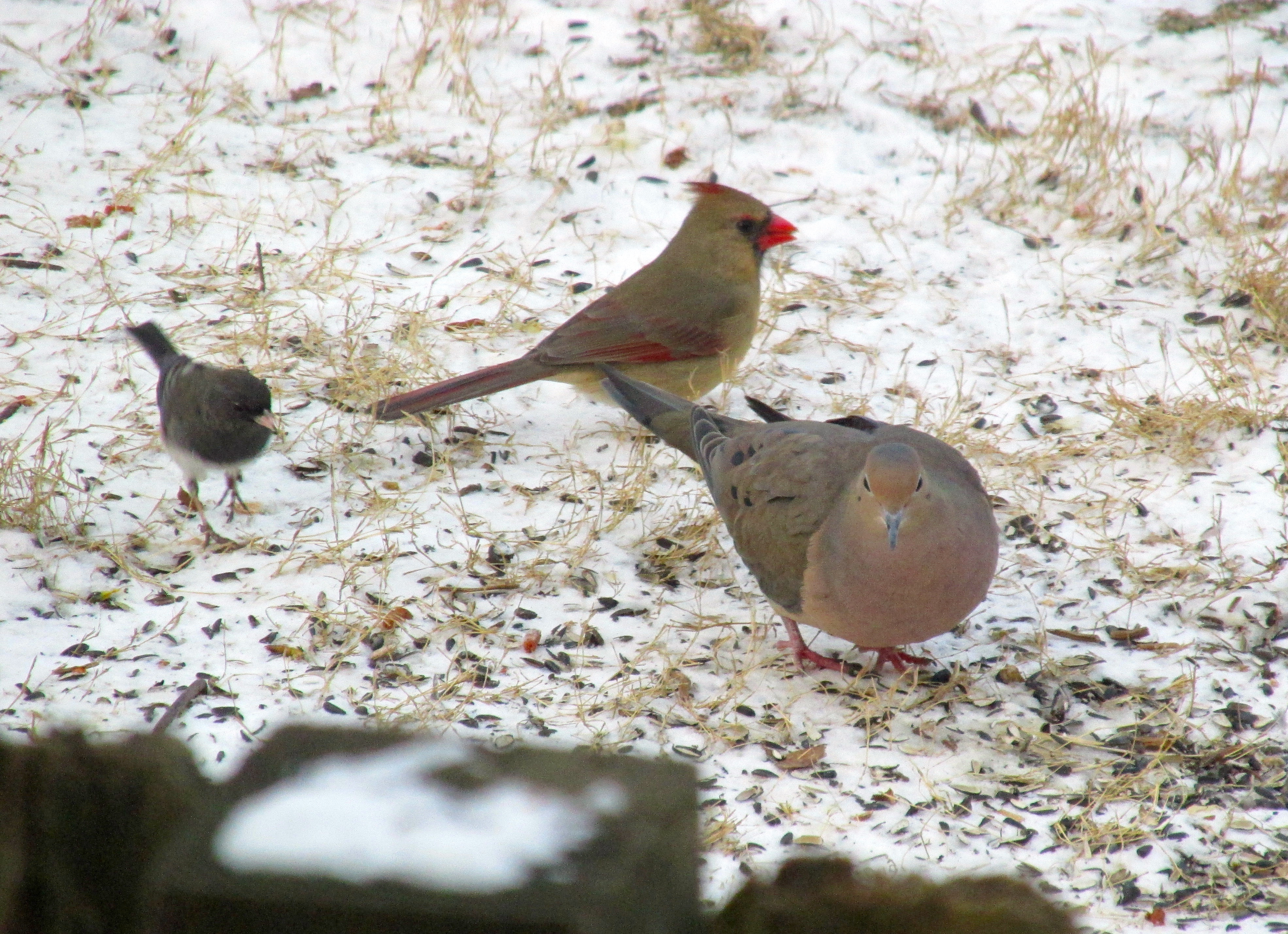 Cardinals Coexist With Other Ground Feeders Without Problem In Winter The Photos Above Both A Male And Female Cardinal Are Feeding