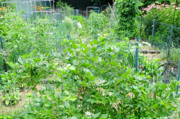 Vegetable garden in early July