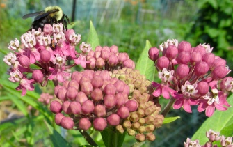 Swamp milkweed with bumblebee in June.