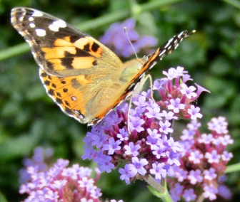 Painted lady on verbena September 22, 2017
