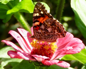 Painted lady on zinnia September 25, 2017
