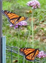 Female monarchs on verbena September 29, 2017