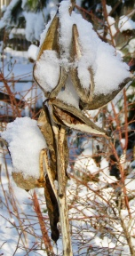 Milkweed pods covered with snow on December 10, 2017