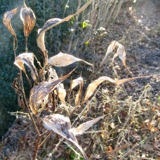 Milkweed pods on December 21, 2017