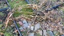 Fennel in messy vegetable garden on December 21, 2017