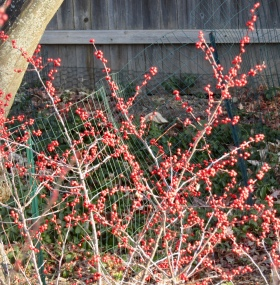 Winterberries on December 21, 2017