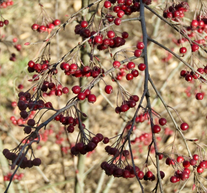 Winterberries on December 21, 2017