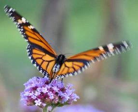 Female monarch on verbena September 27, 2017