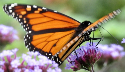 Male monarch on verbena September 27, 2017