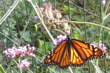 Female monarch on verbena October 10, 2017