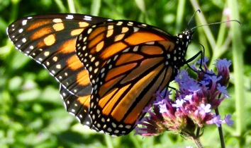 Monarch on verbena October 10, 2017