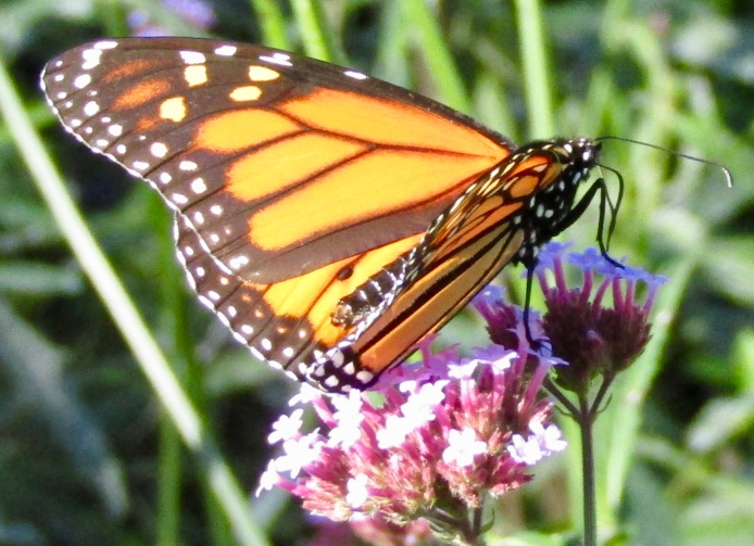 Male monarch on verbena October 19, 2017