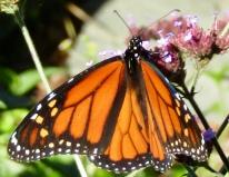 Male monarch on verbena October 19, 2017
