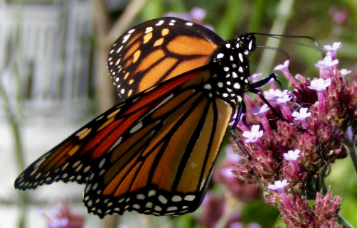Monarch on verbena October 28, 2017