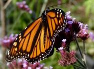 Female monarch on verbena October 28, 2017