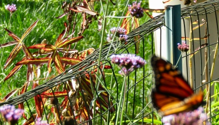 Monarch with milkweed in background October 10, 2017