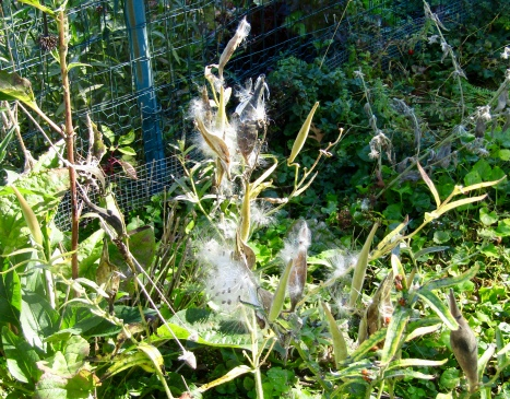 Milkweed on October 18, 2017