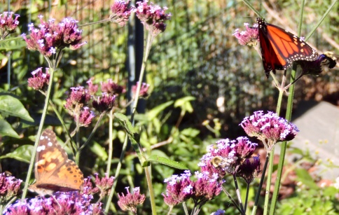 Monarch and painted lady on verbena October 19, 2017