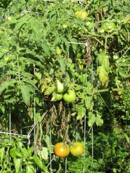 Ramapo tomatoes September 11, 2017