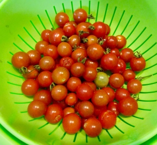 Matt's wild cherry tomatoes October 12, 2017