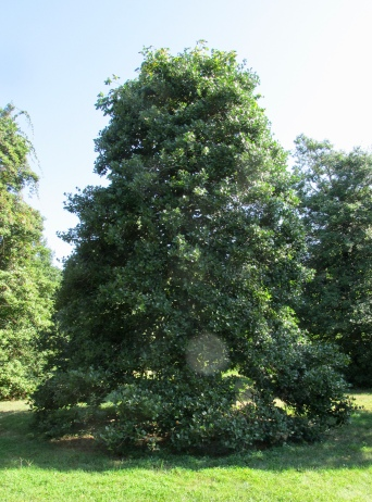 American holly Old Heavy Berry at Rutgers Gardens August 27, 2015