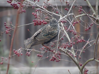 Starlings on Sparkleberry winterberry shrub February 17, 2018