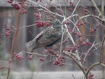 Starlings on Sparkleberry winterberry shrub February 17, 2018