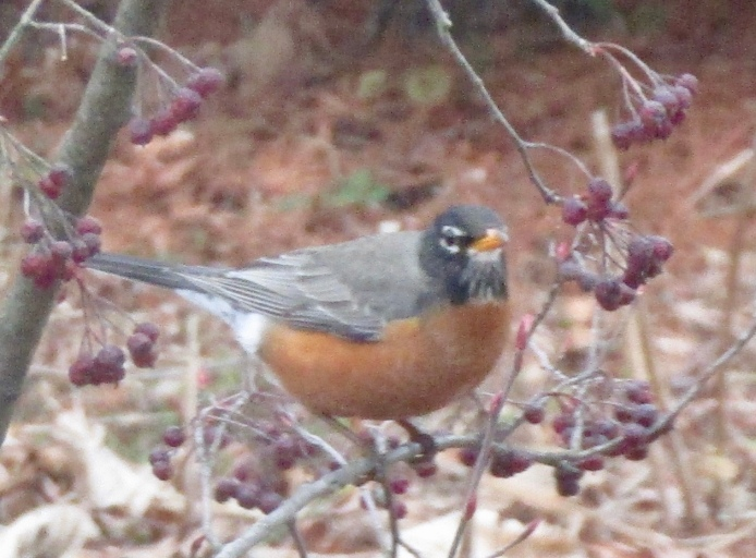 American robin on Sparkleberry winterberry shrub February 17, 2018