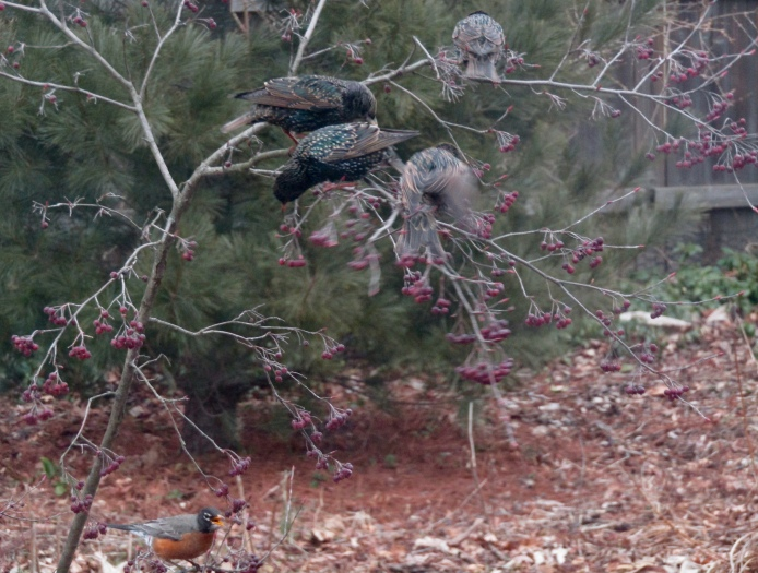 European starlings and an American robin on Sparkleberry winterberry shrub February 17, 2018
