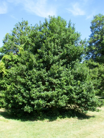 American holly Jersey Knight at Rutgers Gardens August 27, 2015