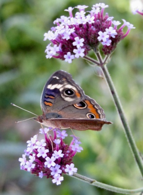 Common buckeye on verbena October 19, 2017