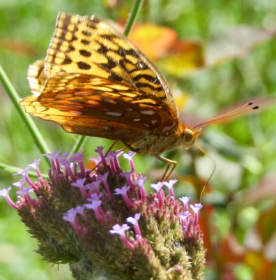 Great spangled fritillary on verbena September 22, 2017