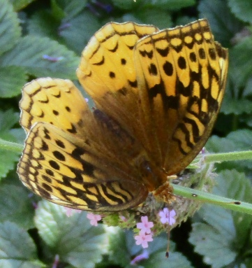 Great spangled fritillary on verbena September 22, 2018